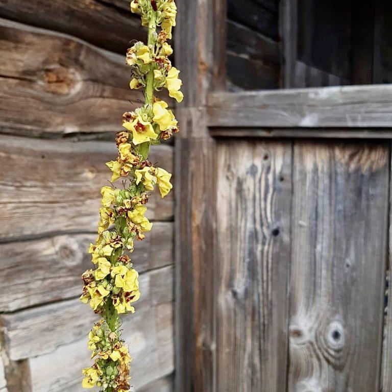 Keltainen korkea kukkiva kasvi harmaata hirsiseinää vasten.